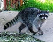 Image of a raccoon walking